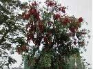 这是什么树?串串火红