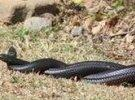 高陂兩條蛇緊緊纏繞一起