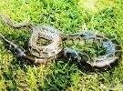 银江再次惊现大蟒蛇