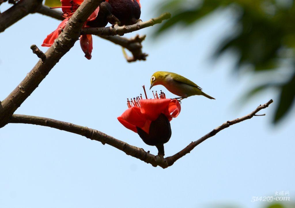 木棉树上的鸟