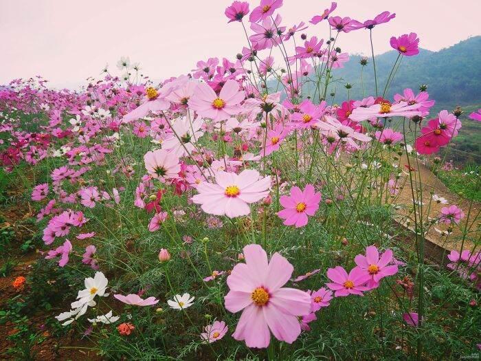 格桑花开相约看花开花落